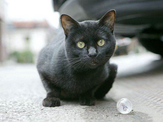 click to free download the wallpaper--Kitten Image, Homeless Black Cat, a White Crystal Ball Thrown to It