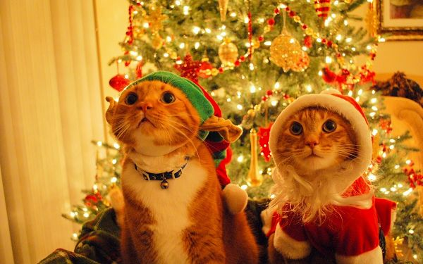 click to free download the wallpaper---Kitties in Christmas Suit, Enjoying an Amazing Show, Unwilling to Move the Eyes and the Direction - Kitties on Christmas Wallpaper