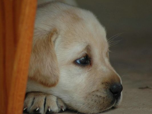 click to free download the wallpaper--Labrador Retriever Images, Depressing Look, Why Are You So Gloomy?