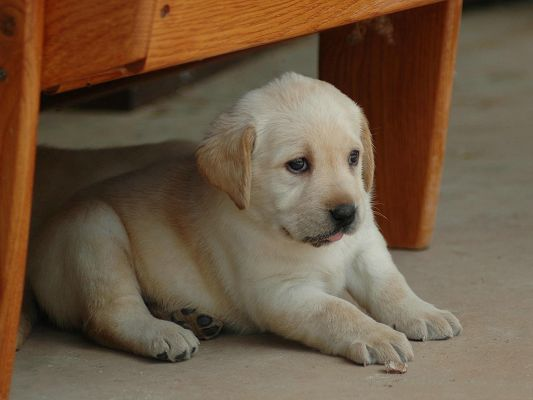 Labrador Retriever Puppies, Puppy in Timid Look, Come on, Little Cutie!