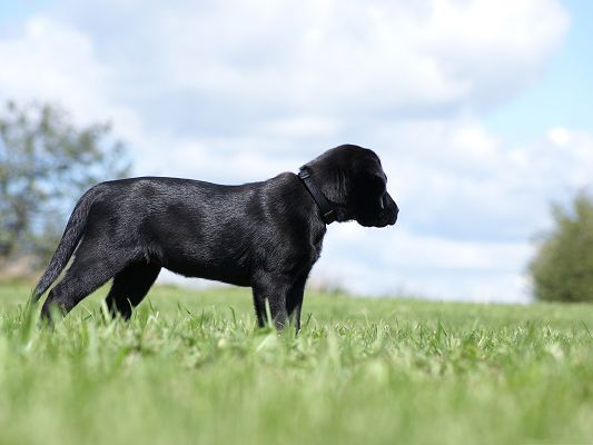 click to free download the wallpaper--Labrador Retriever Puppy, Dog in Black Shinning Fur, Walk in Green