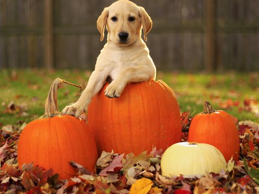 click to free download the wallpaper--Labrador Retriever Puppy, Leaning on Pumpkins, Peaceful Look