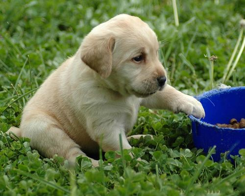 click to free download the wallpaper--Labrador Retriever Puppy Outdoor