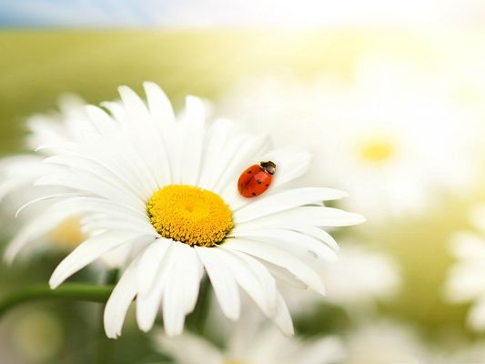 click to free download the wallpaper--Ladybug On Daisy, Tiny Insect on White Flower, Clean and Fresh Scene