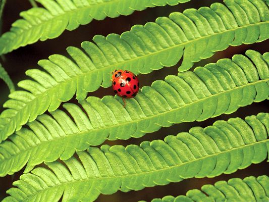 Ladybug On Fern, Red Insect on Green Plant, What a Contrast!