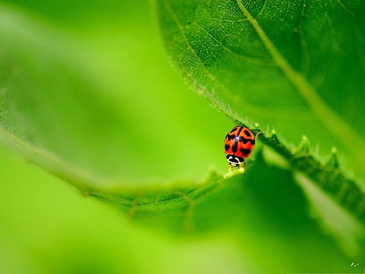 click to free download the wallpaper--Ladybug On Green Leaf, Tiny Insect Crossing Two Leaves, Doing Great