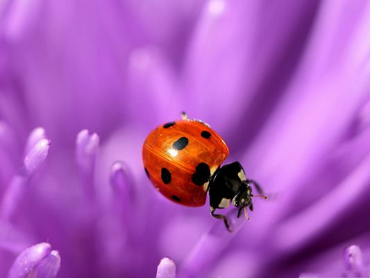 Ladybug On Purple Petals, Great Lovers, Never Do Each Other Apart
