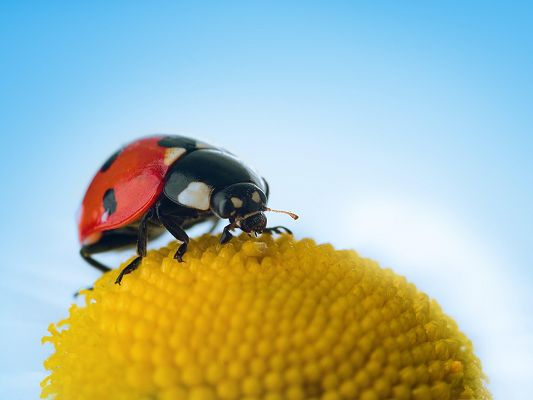click to free download the wallpaper--Ladybug and Flower, Little Ladybug on Yellow Blooming Flower, the Blue Sky