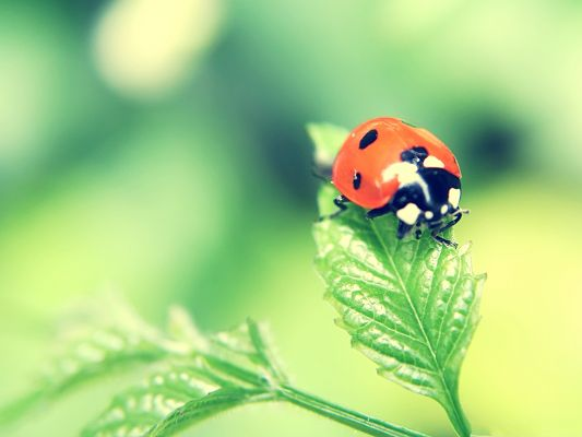 click to free download the wallpaper--Ladybug on Green Leaf, Little Insect in Nature, Fresh and Clean Scene