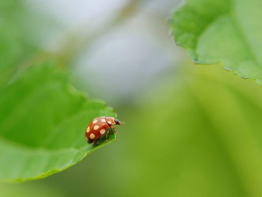 click to free download the wallpaper--Ladybug on Green Leaf, Tiny Insect with White Spots, Green Background