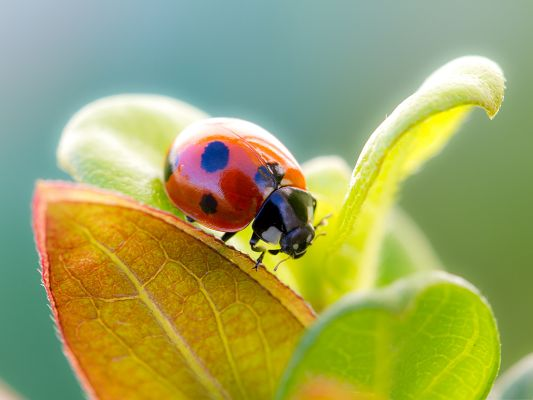 click to free download the wallpaper--Ladybug on Leaf, Red Tiny Insect Among Green Leaves, What a Contrast!