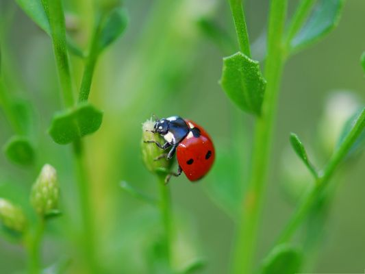 click to free download the wallpaper--Ladybugs On Flower, Flowers in Bud, a Ladybug on Them, Incredible Scene