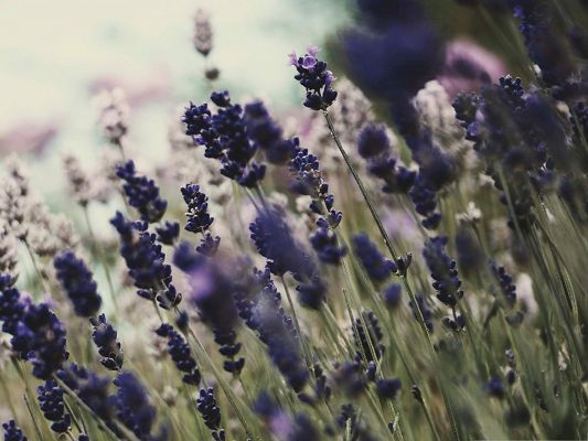 click to free download the wallpaper--Lavender Flowers Image, Blue Little Flowers in Bloom, Incredible Scenery