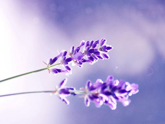 click to free download the wallpaper--Lavender Flowers Photography, Two Lavenders, Full Bloom, Decent Flowers