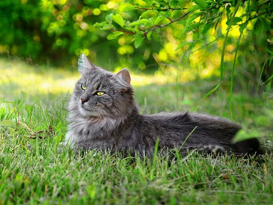 click to free download the wallpaper--Lazy Cat Image, Kitten Lying Under Green Tree, Unwilling to Move