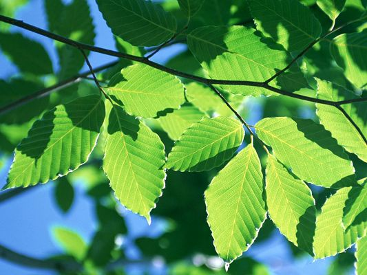 Leaves Are Quite Green and with Texture, Under the Sun's Glow, They Seem as if Bright as to Shine - HD Green Leaves Wallpaper