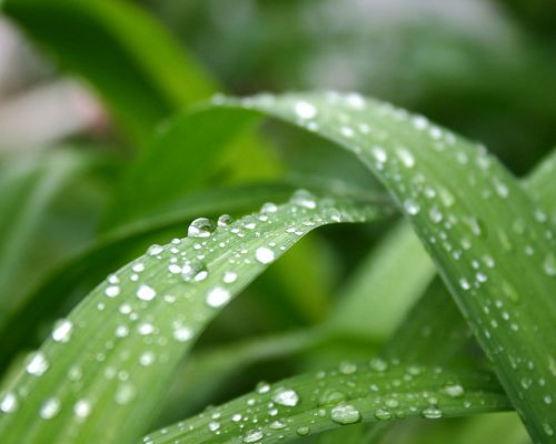 click to free download the wallpaper--Leaves Picture, Numerous Clear Waterdrops on Green Leaves, Morning Scene