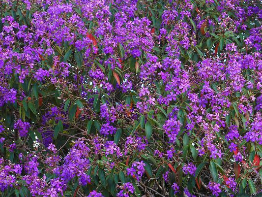 Lent Flowers Image, Purple Flowers in Bloom, Green Leaves Around
