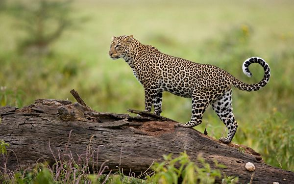 click to free download the wallpaper--Leopard Kenya HD Post in Pixel of 1920x1200, Standing on Wood, He Seems to Overlook Everything, Shall Fit Multiple Devices - Cute Animals Wallpaper