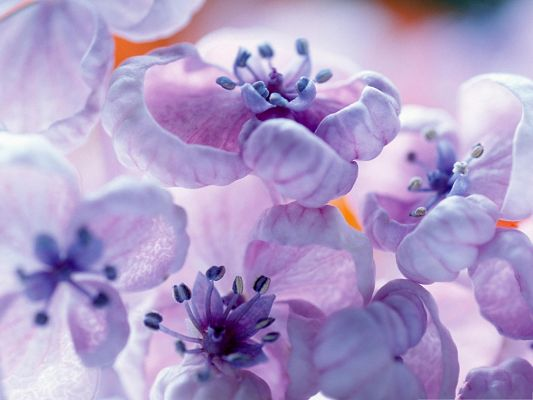 click to free download the wallpaper--Lilac Flowers Image, Purple Flowers in Bloom, Long Stretched Stamen