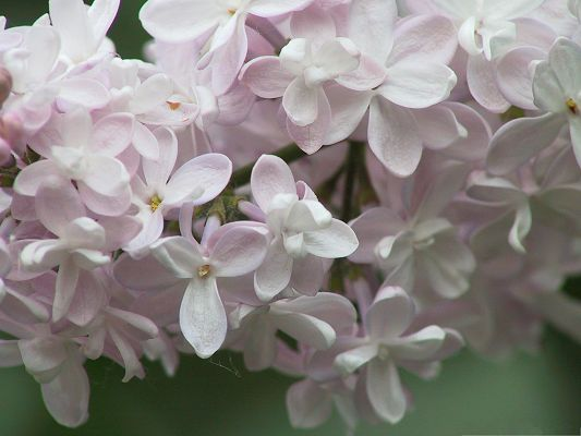 click to free download the wallpaper--Lilac Flowers Picture, Pink Flowers in Bloom, Incredible Look