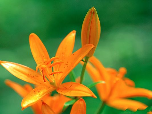 click to free download the wallpaper--Lily Flower Wallpaper, Orange Lilies on Green Background, Clean Scene