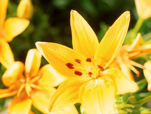 click to free download the wallpaper--Lily Flowers Photo, Yellow Blooming Flowers, Head Proudly Rising Up