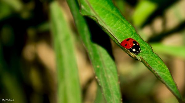 click to free download the wallpaper--Little Insect Image, Red Ladybug on Green Leaves, Amazing Look