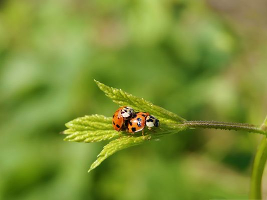 click to free download the wallpaper--Little Ladybugs Image, Two Ladybugs on a Green Leaf, Close Friends