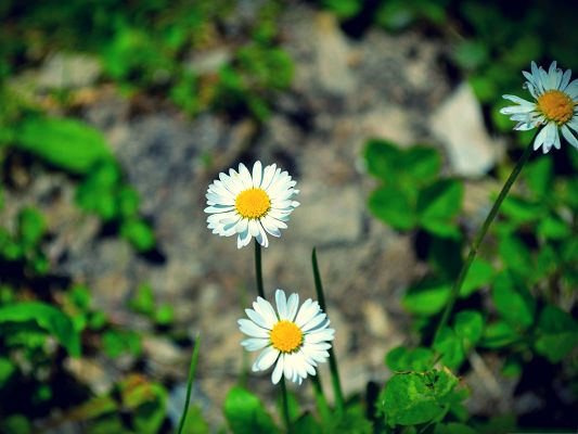 click to free download the wallpaper--Little White Flowers, Blooming Flowers on Hard Stones, Hard to Believe