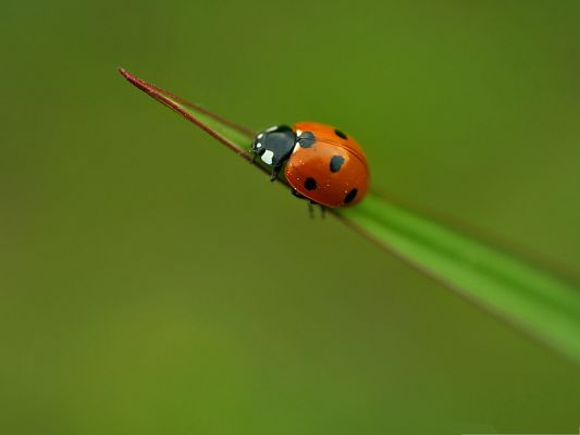 click to free download the wallpaper--Lonely Ladybug Pic, Orange Insect on Green Plant, Combine Incredible Scene