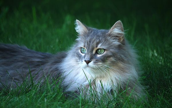 click to free download the wallpaper--Long Fur Cats, Stay Among Green Grass, Green Eyes, Like a Graceful Lady