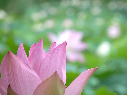 Lotus Flowers Image, Pink Blooming Flower, Half Body Shown, Green Background