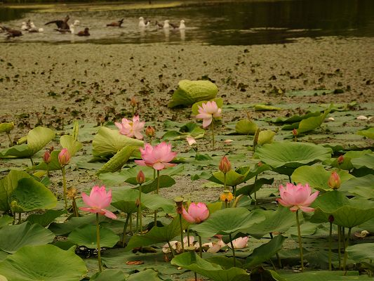 click to free download the wallpaper--Lotus Flowers Image, Pink Blooming Flowers on the Noisy Sea, Decent and Proud