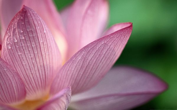 click to free download the wallpaper--Lotus Flowers Image, Pink Flowers in Bloom, Rain Drops on the Petal