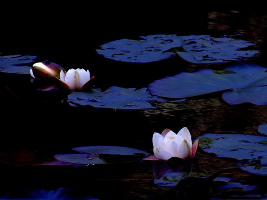click to free download the wallpaper--Lotus Flowers Image, White Blooming Flowers on River Surface, Amazing Scenery