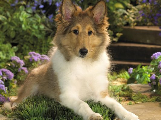 click to free download the wallpaper--Lounging Sheltie Puppy, Graceful Dog Among Blooming Flowers, What a Scene!