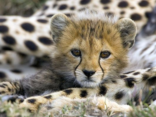 click to free download the wallpaper--Lovely Animal Posts, Cute Cheetah, Close to Family Members, Like Big Kitten
