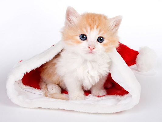 click to free download the wallpaper--Lovely Animals Post, Cute Cat in Santa Hat, White Background, Little Cutie!
