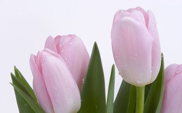 Lovely Pink Buds Post in Pixel of 2560x1600, Water Drops on Fresh Tulips, is Good-Looking and Shall Fit Various Devices - HD Natural Scenery Wallpaper
