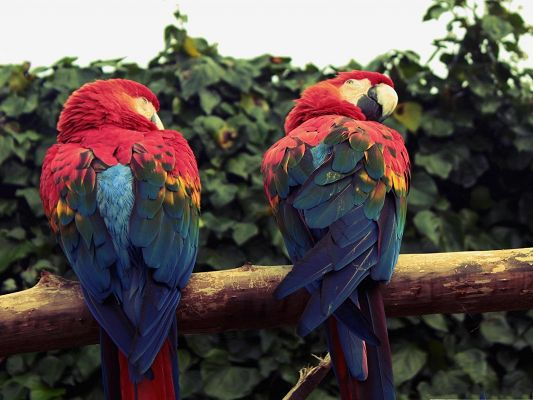 click to free download the wallpaper--Macaw Parrots Wallpaper, Two Parrots Staying Close, Great Lovers