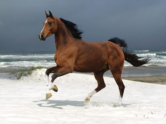 click to free download the wallpaper--Magnificent Animals Image, Horse on the Beach, Dancing on Snow, Totally Impressive