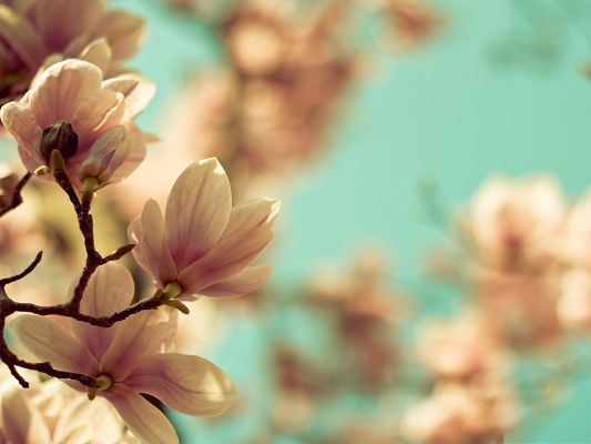 Magnolia Flowers Photo, White Flowers Blooming, Pure and Beautiful
