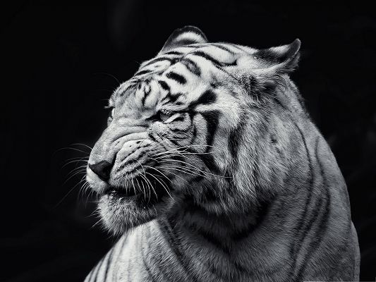 click to free download the wallpaper--Majestic Tiger Image, Beautiful Tiger in Black and White Style, Great in Look