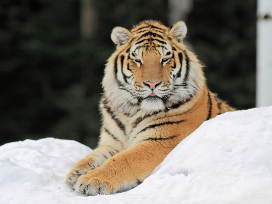 click to free download the wallpaper--Majestic Tiger Images, Lying on Snow, the Decent King