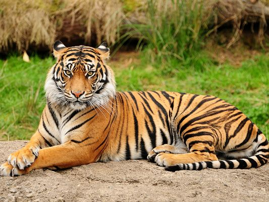 click to free download the wallpaper--Majestic Tigers Image, Lying Beside Green Grass, Serious Look