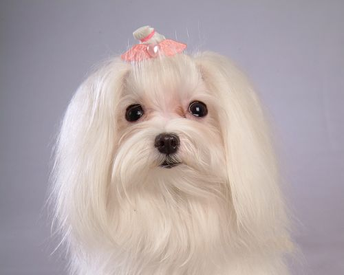 Maltese Dog Desktop, White Puppy in Heart-Shaped Pink Hairpin, What a Beauty!