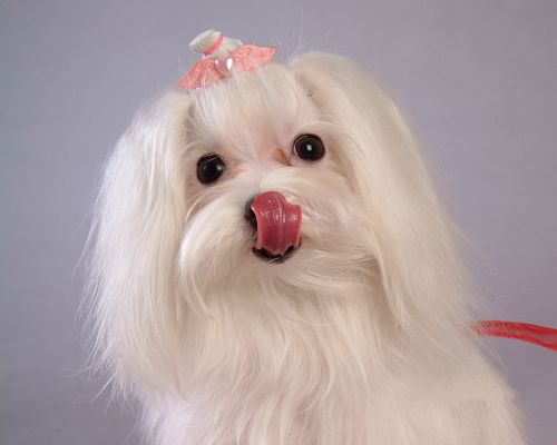 click to free download the wallpaper--Maltese Dog Pic, White Puppy in Black Shinning Eyes, Decent and Graceful Lady