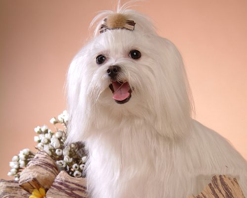 click to free download the wallpaper--Maltese Puppy Image, Well-Dressed White Dog, a Graceful Lady