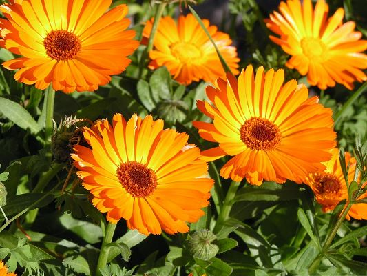 click to free download the wallpaper--Marigold Flower Image, Orange Flowers Under the Sun, Nice in Look